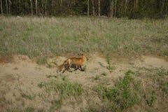 Ein roter Fuchs, der entlang die Seite der Landstraße läuft Stockbilder