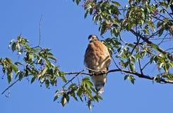 Ein roter geschulterter Falke lizenzfreie stockfotos