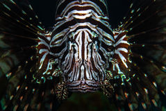 Ein roter Lionfish (Pterois volitans) Lizenzfreie Stockfotografie