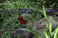 Ein roter männlicher Sommer Tanagervogel lizenzfreies stockfoto