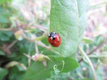 Ein roter Marienkäfer, der auf dem grünen Blatt klettert Lizenzfreie Stockfotografie