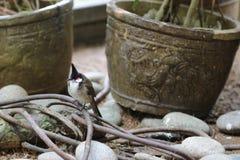 ein roter mit Schnurrbart Bulbul-Vogel auf Baum Stockfotografie