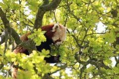Ein roter Panda Stockbild