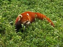 Ein roter Panda Lizenzfreies Stockfoto