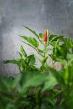Ein roter Paprika Stockfoto