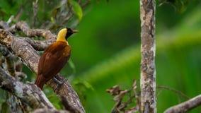 Ein roter Paradiesvogel Anzeige in den Treetops Frau wählt vor, welcher Mann ihren Gefallen findet stockfotografie