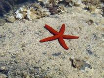 Ein roter Starfish Lizenzfreie Stockfotos