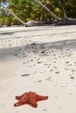 Ein roter Starfish Lizenzfreie Stockbilder