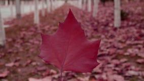 Ein rotes Blatt im Wald, rüttelnd im Wind, Wald als Hintergrund stock video footage