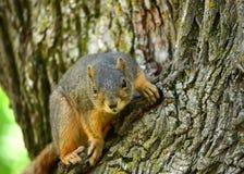 Ein rotes Eichhörnchen Lizenzfreie Stockbilder