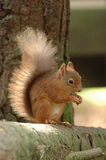 Ein rotes Eichhörnchen Stockfoto