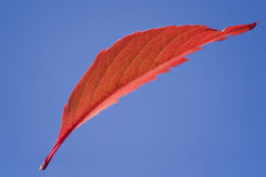 Ein rotes Flugwesenblatt Stockfoto