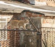 Ein rotes Katzengehen/balancierend auf einem Zaun; Polen Lizenzfreie Stockbilder