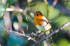 Ein rotes Rotkehlchen oder ein Erithacus rubecula Dieser Vogel ist ein regelm??iger Begleiter w?hrend der Gartenarbeitverfolgunge lizenzfreie stockbilder