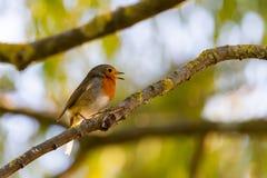 Ein rotes Rotkehlchen oder ein Erithacus rubecula Dieser Vogel ist ein regelm??iger Begleiter w?hrend der Gartenarbeitverfolgunge stockbilder