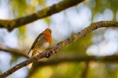 Ein rotes Rotkehlchen oder ein Erithacus rubecula Dieser Vogel ist ein regelm??iger Begleiter w?hrend der Gartenarbeitverfolgunge lizenzfreies stockfoto
