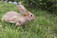 Ein rothaariges Kaninchen ist auf dem Gras auf einem Bauernhof Die Hasen auf dem L stockbilder