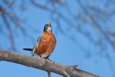 Ein Rotkehlchen singt in das breite offene Blau Lizenzfreie Stockbilder
