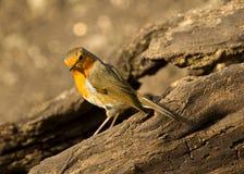 Ein Rotkehlchenrotkehlchenvogel gehockt auf einem Baumstumpf lizenzfreie stockbilder