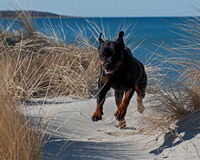 Ein rottweiler, das auf einem Strand läuft Lizenzfreies Stockfoto