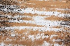Ein Rotwild auf einem braunen Grasgebiet umfaßt mit Schnee Stockbild