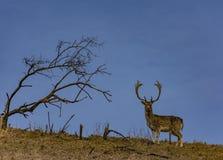 Ein Rotwild auf einem Hügel und einem einzigen Baum- und Braunengrünen Feld lizenzfreie stockfotografie