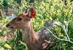 Ein Rotwild im Garten II stockfoto