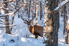 Ein Rotwild im Wald im Winter Lizenzfreies Stockfoto