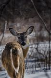 Ein Rotwild im Wald zurück anstarrend entlang der Kamera Stockfoto