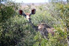 Ein Rotwild mit den großen Ohren anstarrend durch den afrikanischen Busch Stockfotografie