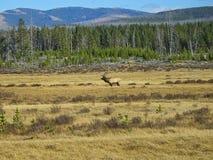Ein Rotwild in Rocky Mountains stockfotografie