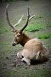 Ein Rotwild steht auf dem Rasen im Prag-Zoo still lizenzfreie stockfotos