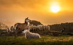 Ein Rotwild und eine Schafherde, die einen Sonnenaufgang in Broadway Cotswolds genießen stockbilder