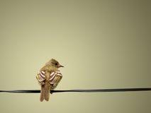 Ein ruhiger und reizender gelber Vogel, der auf Wäscheleine stillsteht Stockbilder