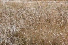 Ein ruhiger Winterschneesturm - das Gras auf dem Gebiet wird mit dem ersten Schnee bedeckt Stockfoto
