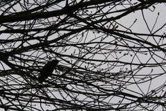 Ein ruhiges Bild einer Krähe, die unter den Niederlassungen sterbenden Baums A sitzt lizenzfreie stockbilder