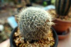 Ein runder Kaktusfasskaktusabschluß oben stockbild