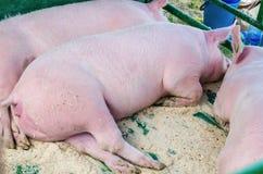 Ein Säugetier mit einer schönen Schnauze Lizenzfreies Stockbild