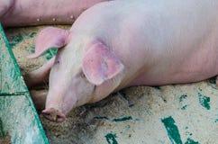 Ein Säugetier mit einer schönen Schnauze Stockfoto