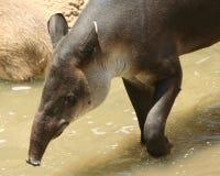 Ein südamerikanischer Tapir lizenzfreie stockfotografie