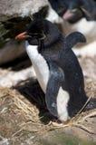 Ein südlicher Rockhopper Pinguin Stockfotografie