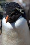Ein südlicher Rockhopper Pinguin Lizenzfreies Stockbild