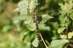 Ein südliches Straßenverkäufer-Dragonfly Aeshna-cyanea hockte auf einem Blatt Stockbild