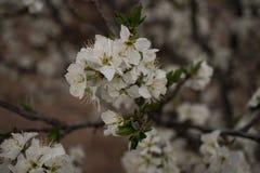 Ein südwestliches Pflaumenbaummakrofoto stockfoto