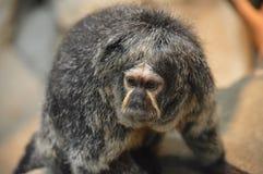 Ein Saki-Affe auf einer Niederlassung Stockbild