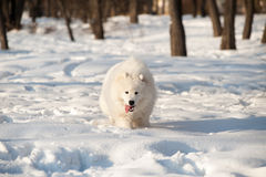Ein Samoed-Hundeweiß Lizenzfreie Stockfotografie