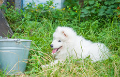 Ein samoed Hundewelpenweiß Lizenzfreie Stockbilder