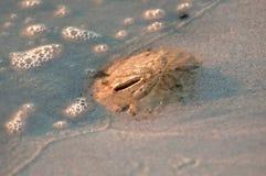 Ein Sanddollar an der Ebbelinie lizenzfreies stockbild