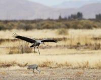 Ein Sandhill Crane Glides In, seine Winter Surivival-Gruppe wieder zusammenbringend Stockfotos