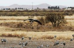 Ein Sandhill Crane Glides In, seine Winter Surivival-Gruppe wieder zusammenbringend Lizenzfreie Stockfotografie